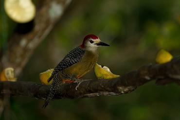 Jamaican Woodpecker by maholyoak