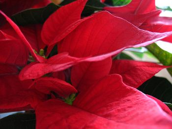 Poinsetta Christmas Flowers from MOU Blog